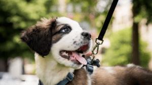 dog walking pet advice